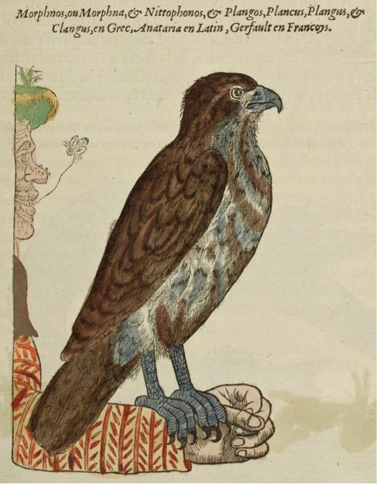 Pierre BELON, L'histoire de la nature des oyseaux, 1555, Paris, Gilles Corrozet, gravure sur bois réhaussée en couleurs, p. 95.