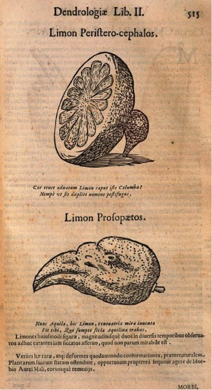 Ulisse ALDROVANDI, Dendrologiae naturalis scilicet arborum historiae libri duo, édité par Ovide MONTALBANI, Bologna, Baptiste Ferronii, 1667, p. 515.