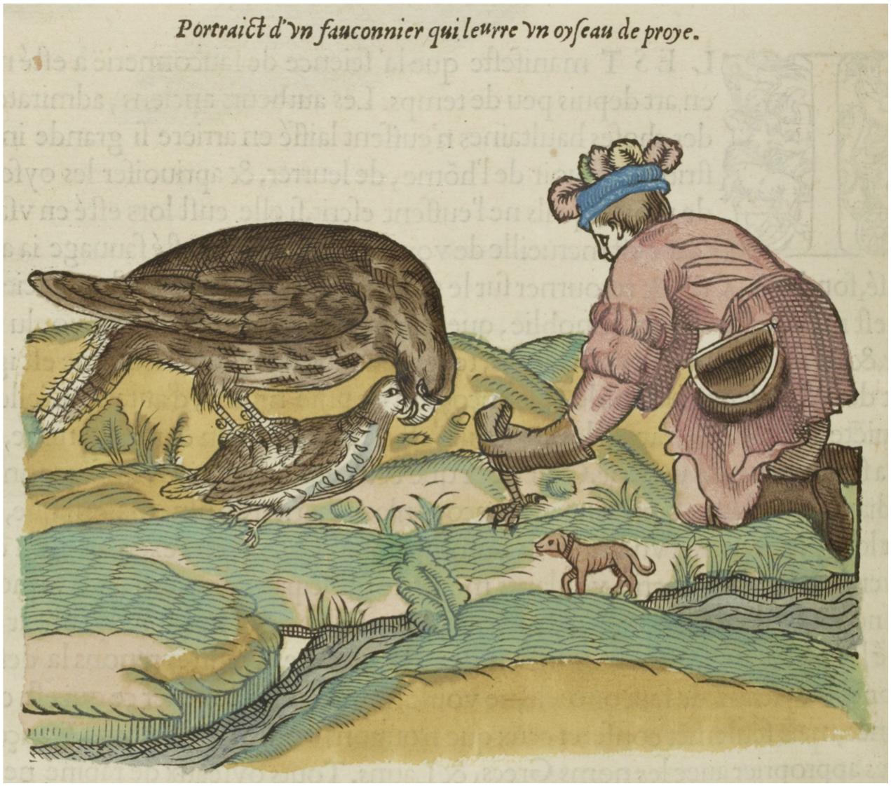 Pierre BELON, L'histoire de la nature des oyseaux, 1555, Paris, Gilles Corrozet, gravure sur bois réhaussée en couleurs, p. 106.